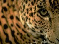 [Vídeo] Leopardos frente al espejo