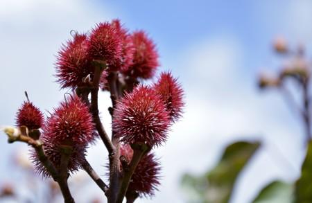 achiote-planta