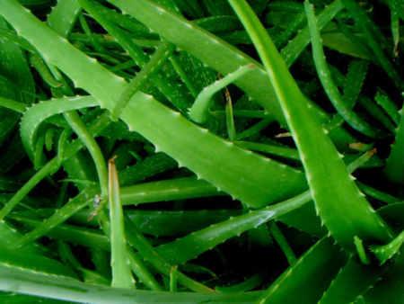 Aloe Vera para después de tomar el sol