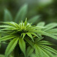 El cannabis legal generaría 400.000 empleos y 40.000 millones de dólares