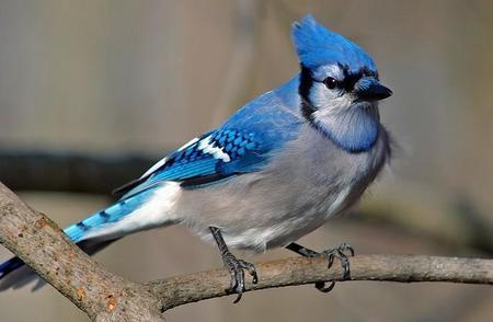 1024px Cyanocitta Cristata Blue Jay