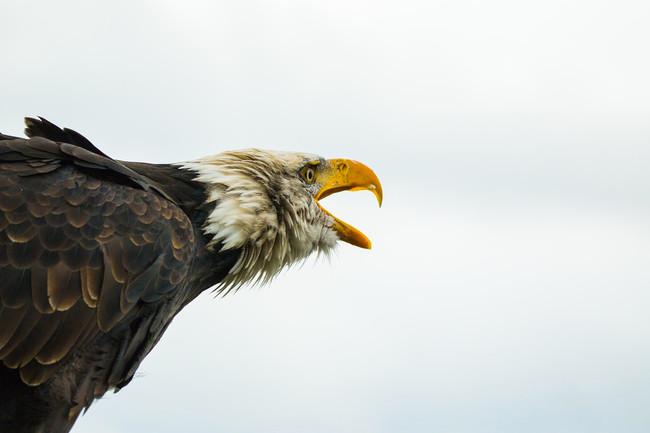 Ni los drones de 80.000 dólares y estructura de Kevlar sobreviven al ataque de las águilas (sin estar entrenadas)