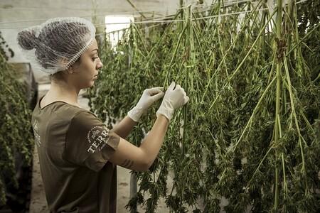 Consumir cannabis aumenta casi 7 veces la probabilidad de desarrollar enfermedades mentales graves como psicosis o esquizofrenia