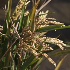 Foto 9 de 14 de la galería la-produccion-de-los-cereales-con-base-de-arroz en Vitónica