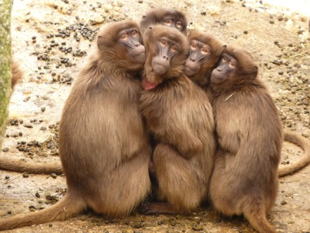 Baboons 4371 1280
