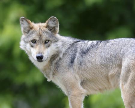 Unos padres quieren llamar 'Lobo' a su bebé, pero se lo impiden