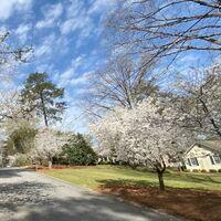La ruta de la floración de los cerezos en Macon, Estados Unidos