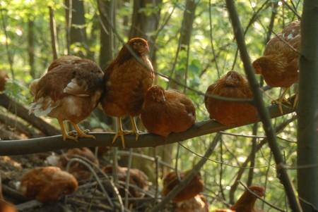 La empresa italiana que está revolucionando la producción de huevos devolviendo las gallinas al bosque