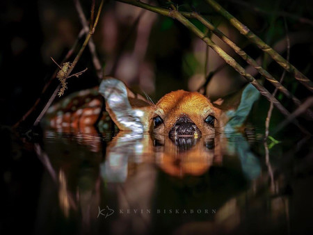 Kevin Biskaborn White Tailed Deer Fawn