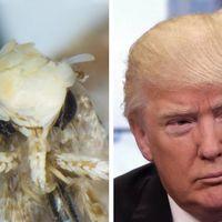 Donald Trump ya es una polilla (por su parecido con su peinado)