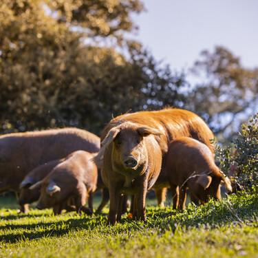 Así es el rubio dorado: el cerdo ibérico malagueño cuyos jamones valen en Hong Kong más de 5.000 euros