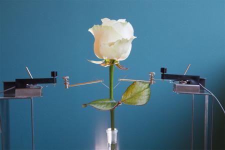 La rosa cíborg: científicos suecos implantan circuitos electrónicos dentro de plantas