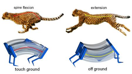 Se logra triplicar la velocidad de un robot gracias a la biomecánica del guepardo