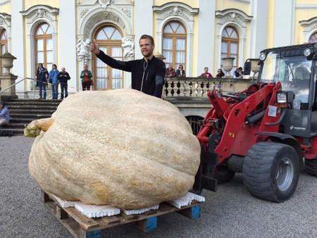 Buscas una calabaza enorme para Halloween: aquí tienes unas de más de 800 kilos