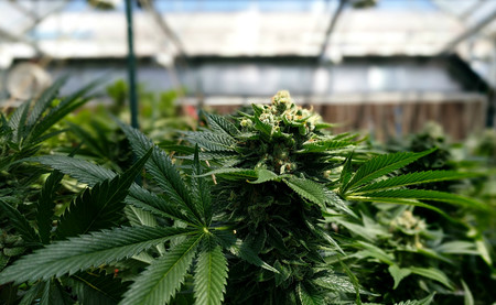 La industria de la marihuana tiene un problema: cultivarla es demasiado contaminante