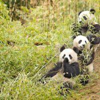 ¿A los osos panda les cuesta reproducirse porque comen bambú?