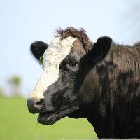 Los eructos de las vacas emiten mucho metano. Y hay quien quiere solucionarlo con mascarillas