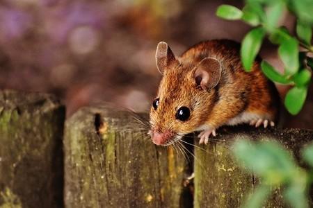 Por primera vez, se describen expresiones faciales emocionales para ratones