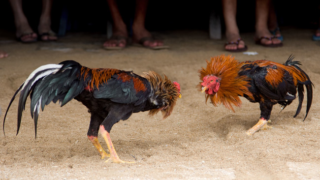 Las peleas de gallos podrían ser consideradas patrimonio cultural para evitar su prohibición en Hidalgo, México