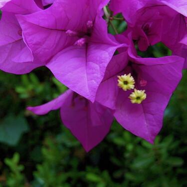 Bugambilia: cuáles son los beneficios y propiedades medicinales de esta flor que adorna las casas y jardines en México