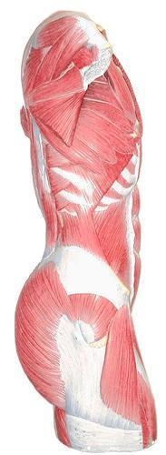 Es importante hacer abdominales, pero no olvides los lumbares