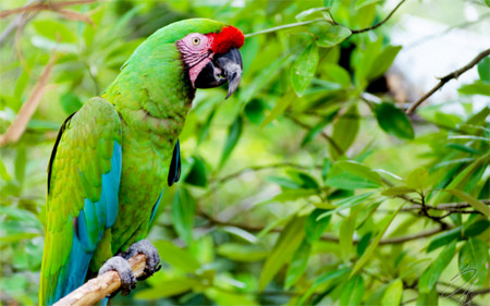 Greatgreenmacaw4