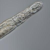 Un animal microscópico del permafrost siberiano se ha despertado: llevaba 24.000 años hibernando