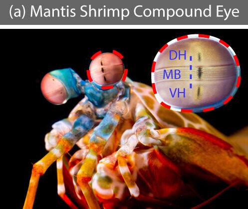 Se desarrolla una cámara inspirada en el camarón mantis que puede visualizar células cancerosas durante la cirugía