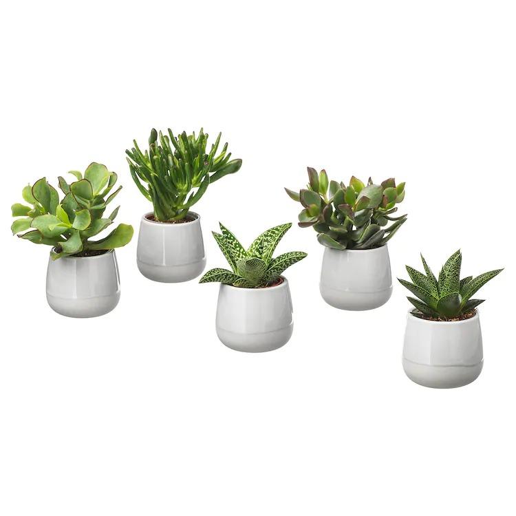 SUCCULENT Planta con maceta, gris, 6 cm