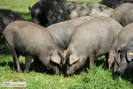 Qué es la montanera y por qué es tan importante en la elaboración del jamón ibérico