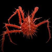 Estas espeluznantes criaturas del fondo marino fueron descubiertas, como no, en la costa de Australia