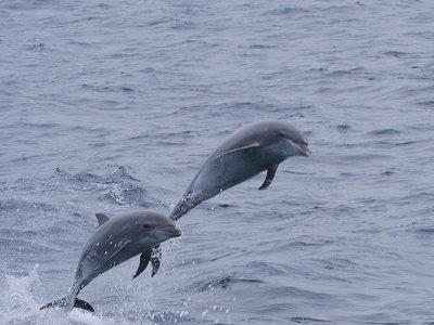 Delfines apoyarían a la conservación de vaquitas marinas en México