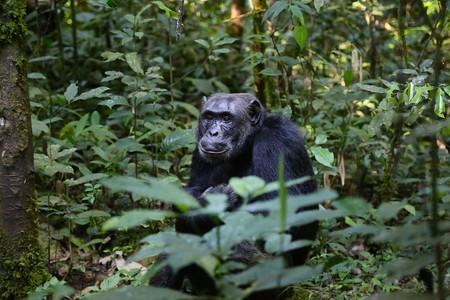 Uganda Chimpanzee Monkey 898756