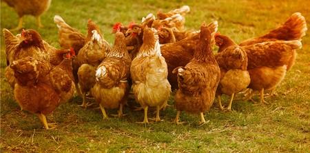 Chickens 4145198 1920