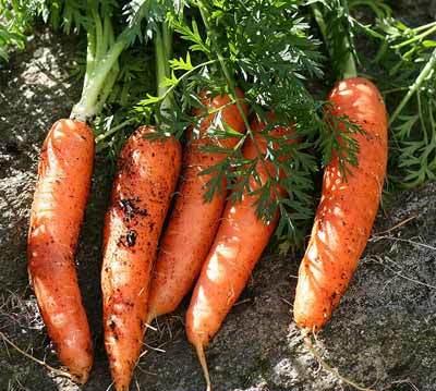 Las Zanahorias Son De Color Naranja Gracias Al Patriotismo De Holanda Se obtiene de plantas que crecen de una semilla de patata en un huerto mediano o en un huerto grande. las zanahorias son de color naranja