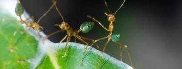 La hormiga que era capaz de levantar cien veces su propio peso