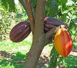 Antioxidante presente en el cacao puede mejorar las funciones cerebrales