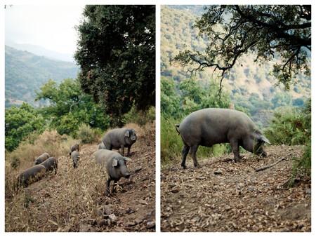 La Peculiaridad De Esta Finca Es Que Los Cerdos Viven En Un Entorno De Extraordinario Verdor Y Riqueza Paisajistica Aunque Tambien Obliga Al Cerdo A Estar Mas En Forma