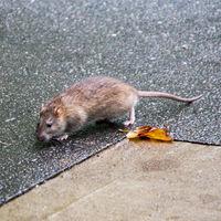 Sin humanos, las ratas no encuentran comida. Así que se están devorando las unas a las otras