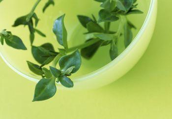 El peligro de las plantas adelgazantes