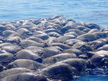 Cientos de tortugas quedaron atrapadas en una redes de Oaxaca: aún no hay cifras oficiales de ejemplares muertos