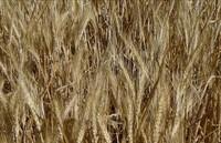 Tritordeum, el nuevo cereal natural