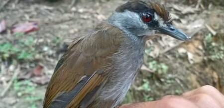 Aparece en Borneo una ave que se creía extinguida desde hacía casi 200 años
