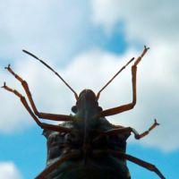 Las chinches son cada vez más resistentes a los pesticidas. Y ya no sabemos cómo combatirlas
