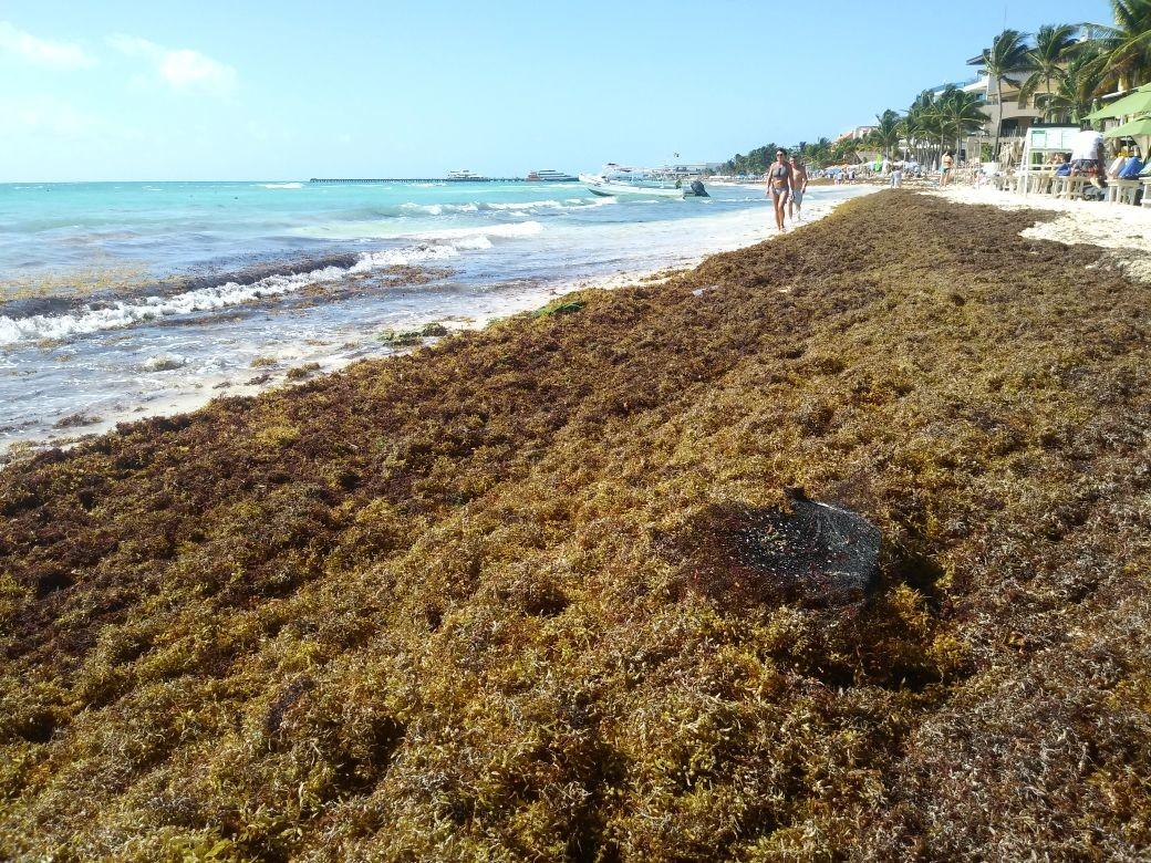 En Mercado Libre ya se vende sargazo, pese a que es ilegal y que sigue siendo un problema para el Caribe...