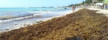 En Mercado Libre ya se vende sargazo, pese a que es ilegal y que sigue siendo un problema para el Caribe mexicano