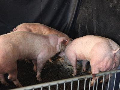 El primer animal modificado genéticamente apto para el consumo podría llegar pronto a nuestra mesa