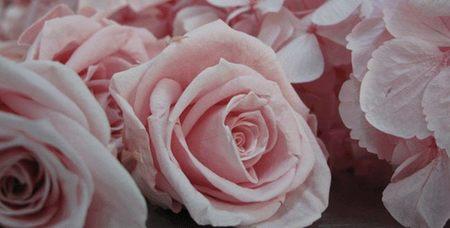 caña_de-azucar_rosas