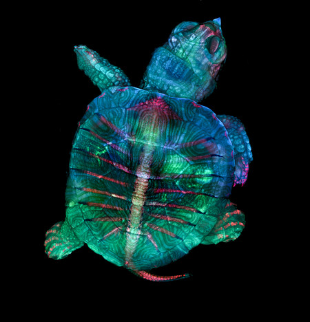 1 Zgoda Turtle