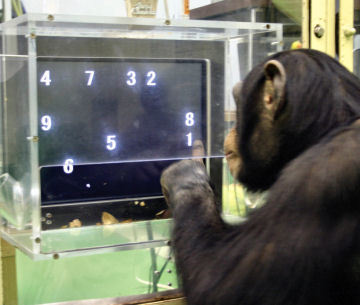 Chimpances realizando un test de memoria